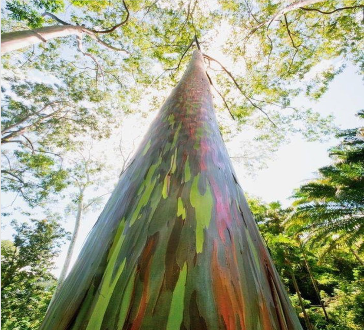 Tall tree with rainbow bark