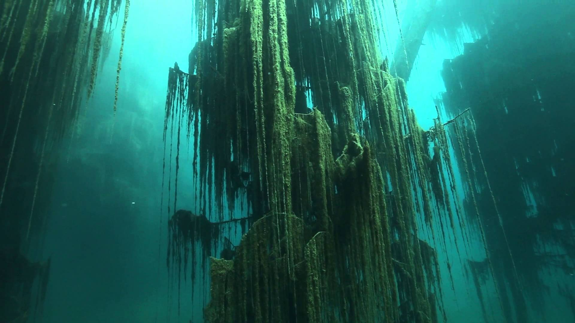 algae growing on a tree trunk underwater