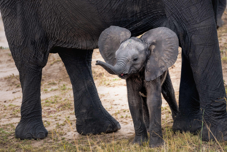 Elephant calf standing beneath an adult elephant