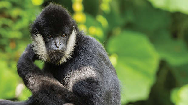 close up of white cheeked spider monkey