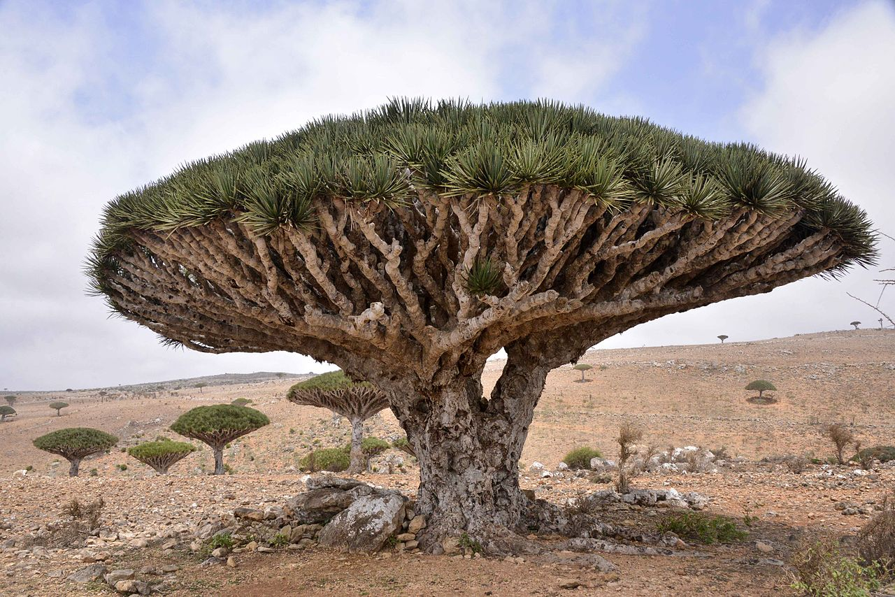 a dragon blood tree from yemen