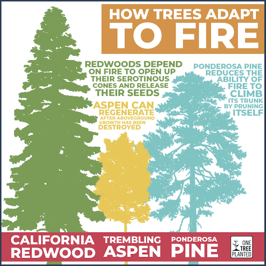 How Trees Adapt to Fire Graphic