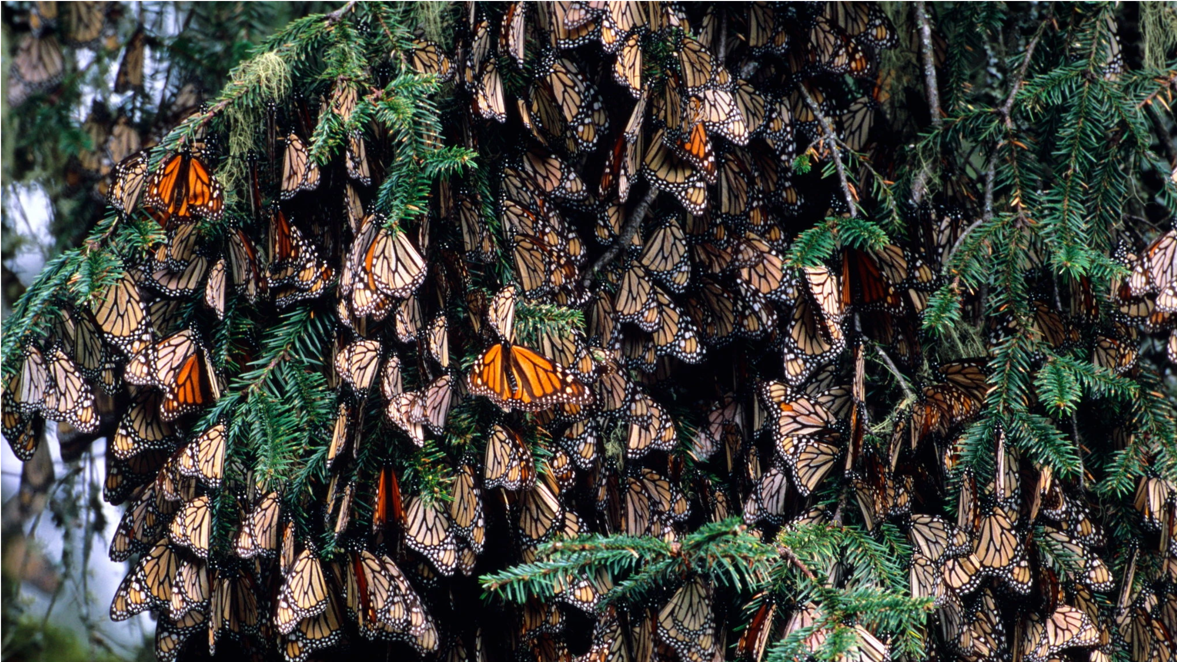 Many orange butterflies clumped together in tree branches
