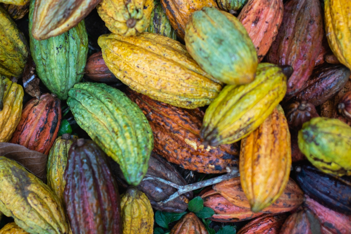 Colorful pile of cocoa fruit