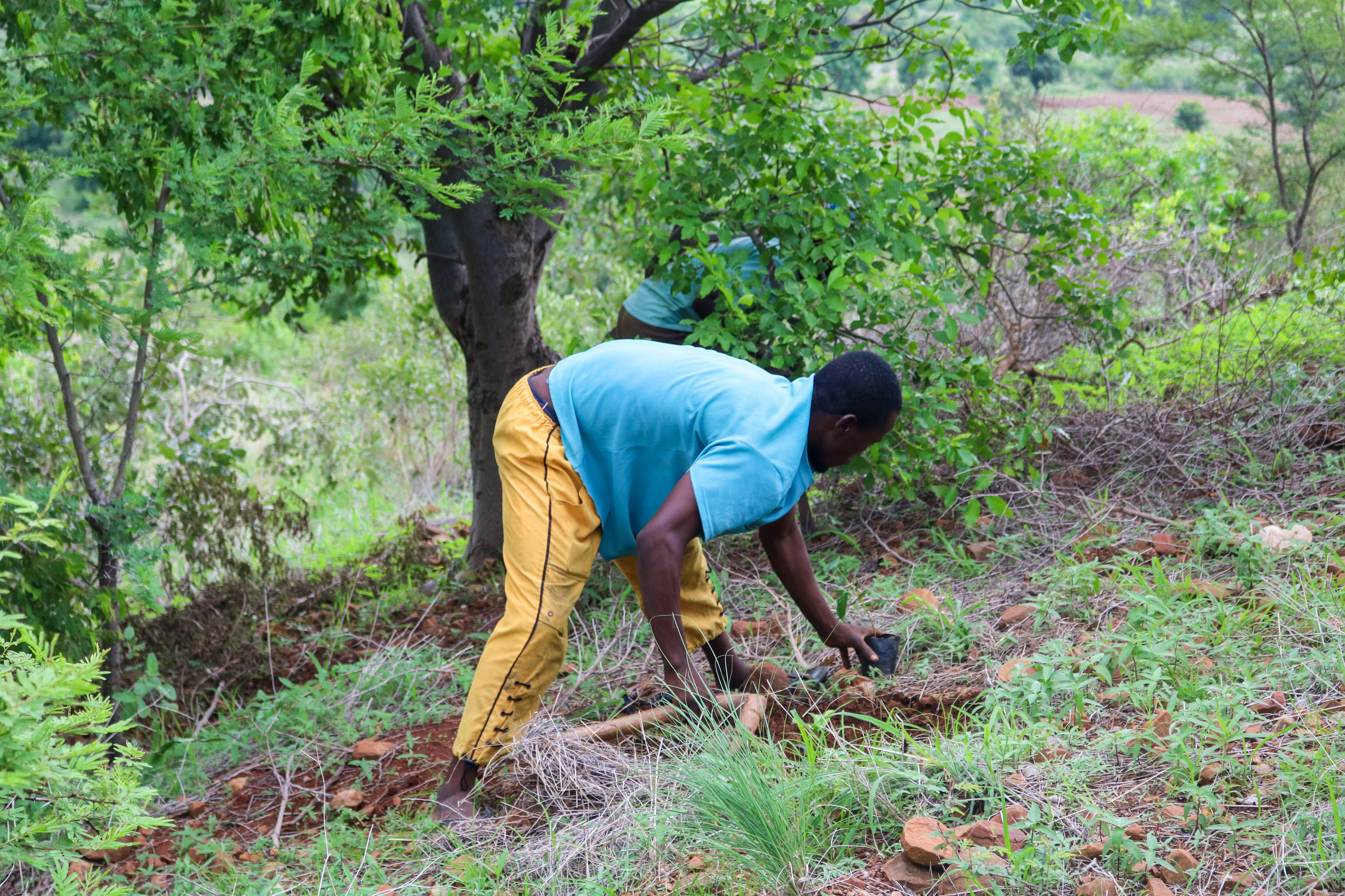 man planting a tree in ghana