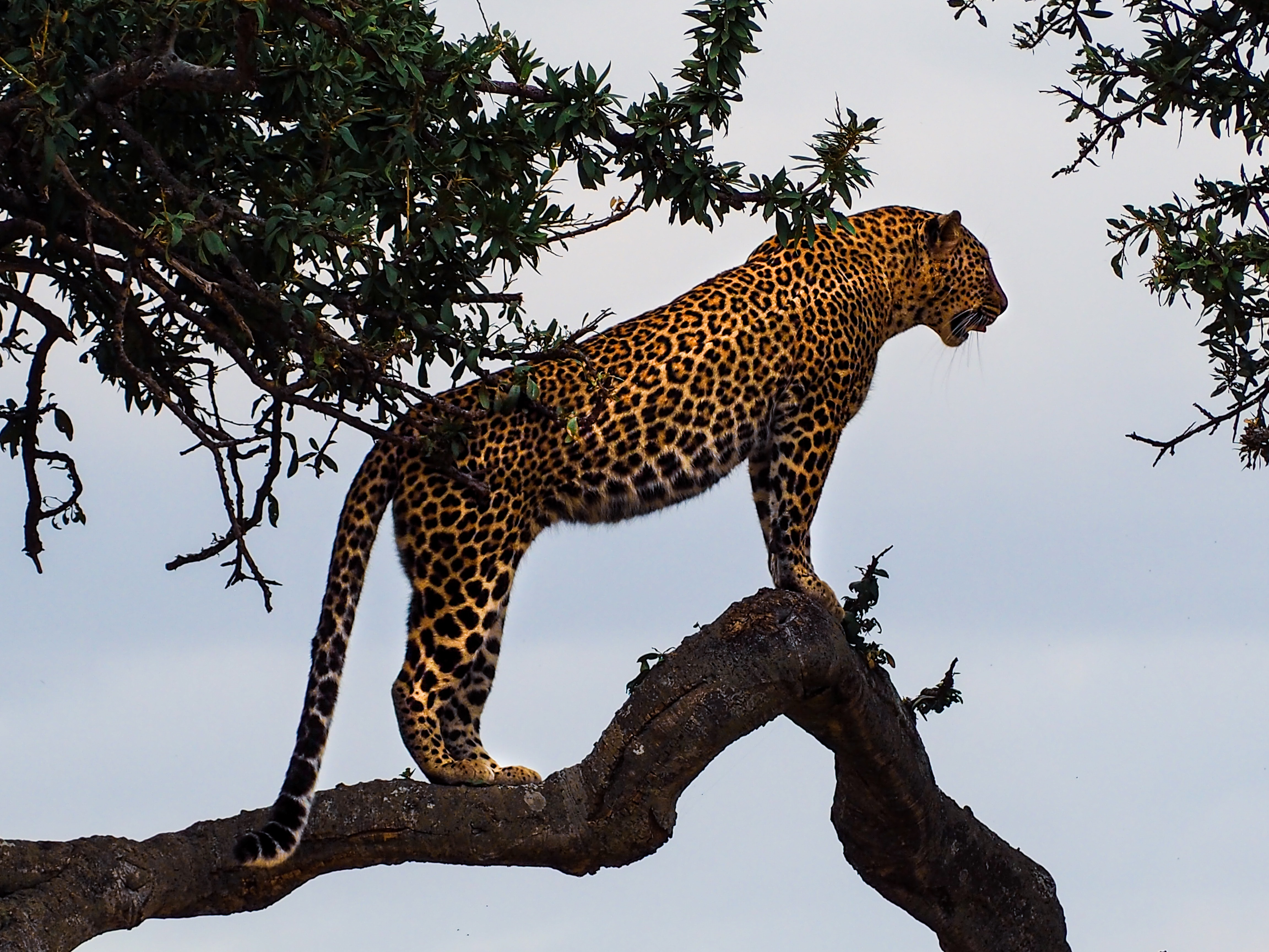 Leopard standing in a tree