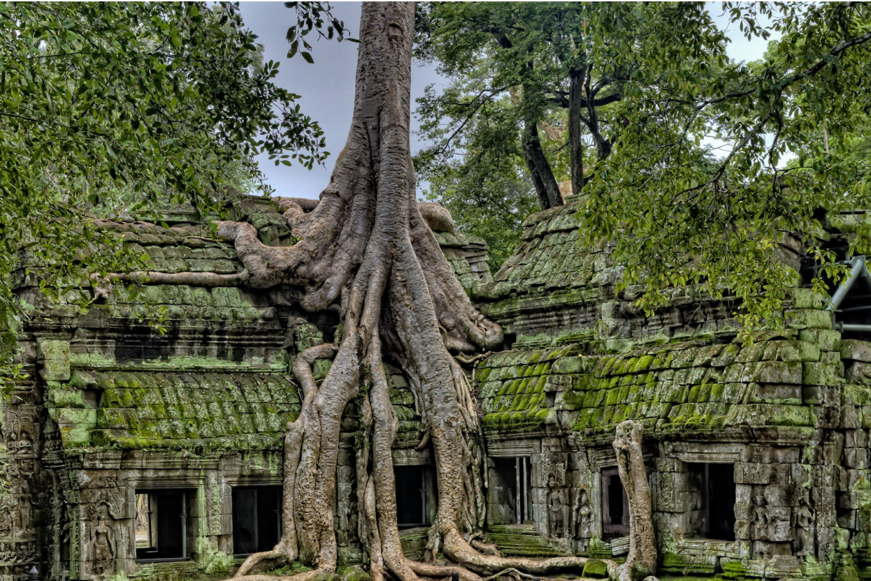Large tree with roots growing into an ancient concrete building