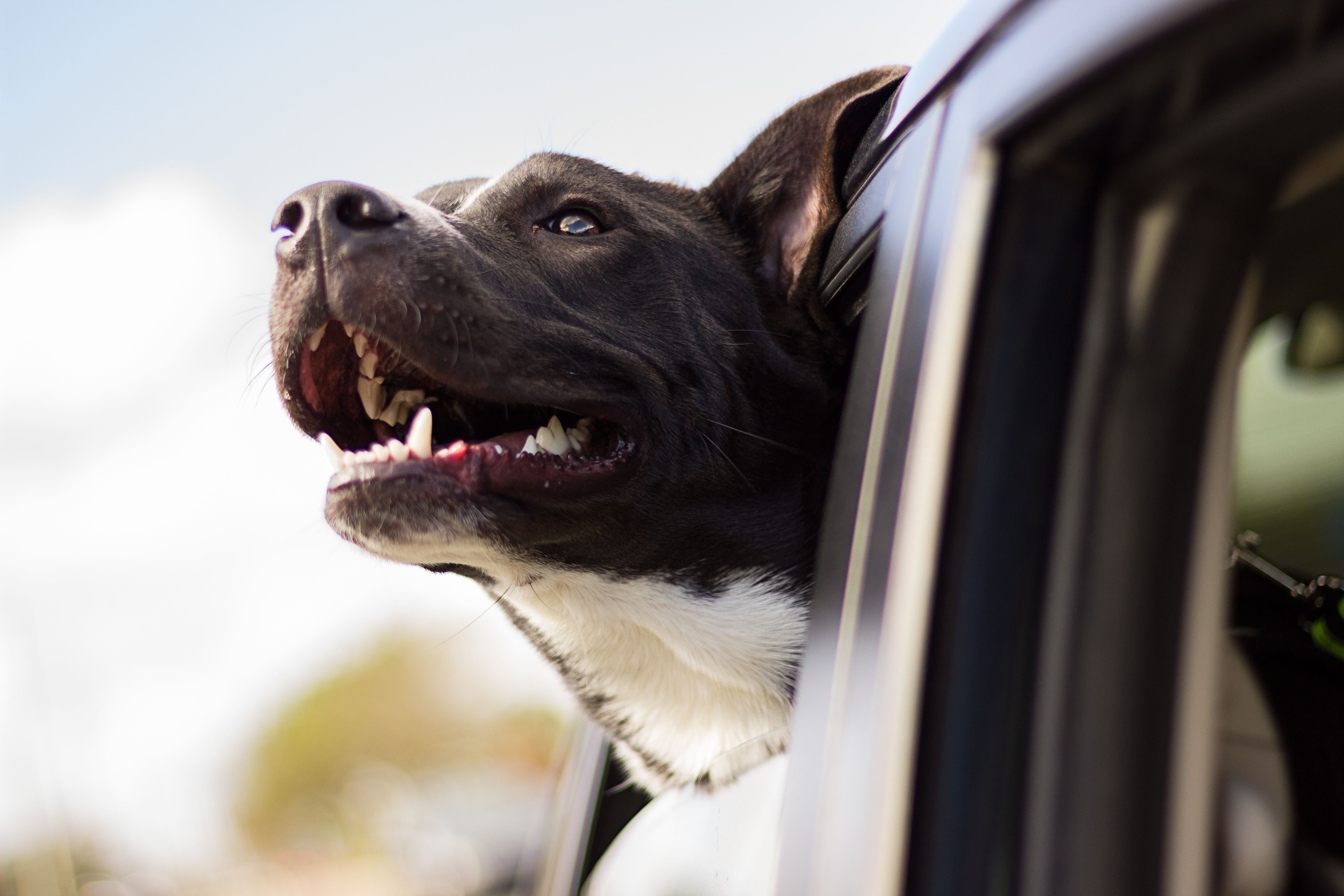 Dog travel accessories - dog hanging head out of window