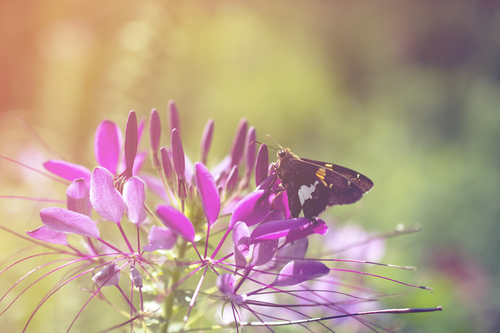 https://pipafineart.com/collections/nature-photo-prints/products/spider-flower-in-glory-light-with-spotted-moth-nature-photography-wall-art-prints-unframed-and-fine-art-canvas-prints