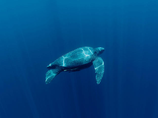 The Leatherback Turtle - Red Snapper Sports blog