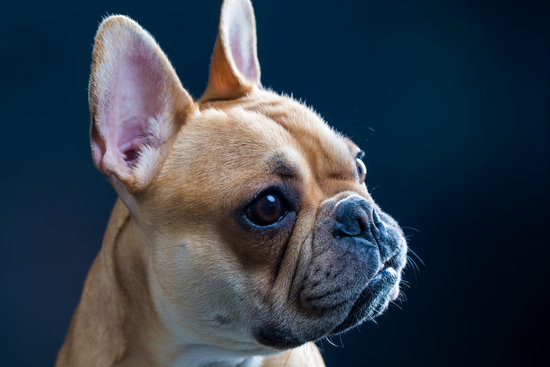 Golden french bulldog looking into the distance with a black background