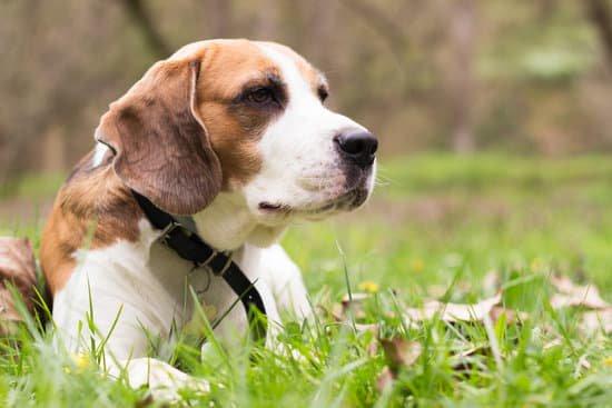 Beagle in a grassy field wearing a black collar