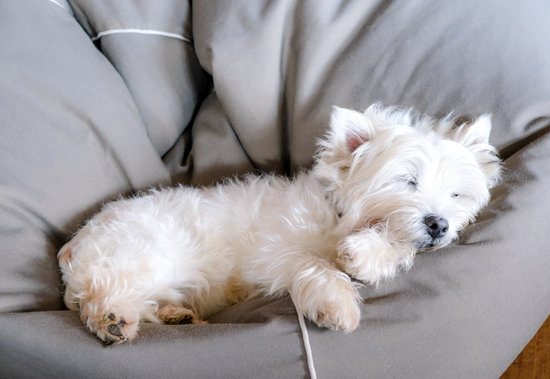 Small White Dog Asleep On A Plush Grey Bed