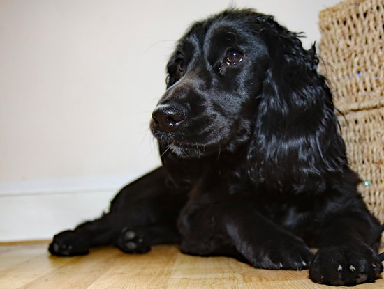 Black Cocker Spaniel laying on a wood floor next to a basket