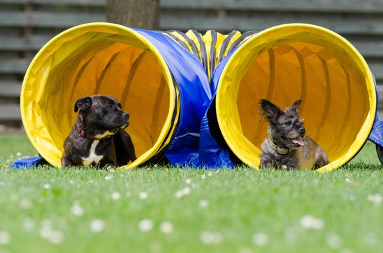 Two dogs on a sunny day in an agility tube