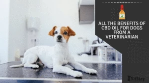 All the benefits of CBD oil for dogs from a veterinarian
