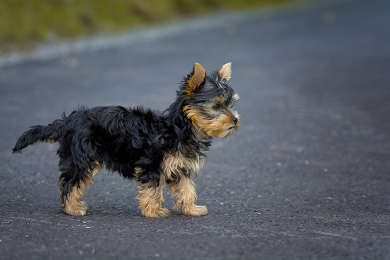 Turmeric for dogs dosage in a little yorkie