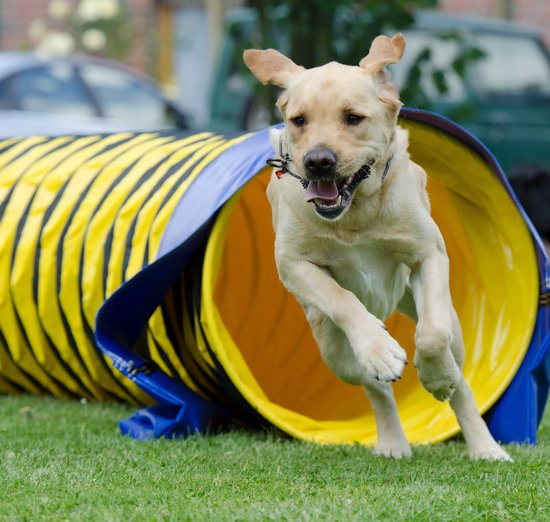 Dog agility requires the best orthopedic dog beds