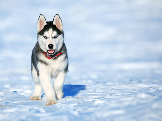 Cold weather dog breeds