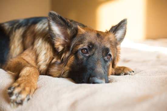 German shepherd looking tired on a white bed