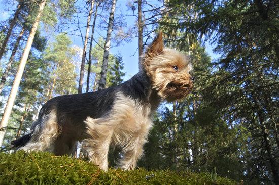 Hypoallergenic dog the bichon frise