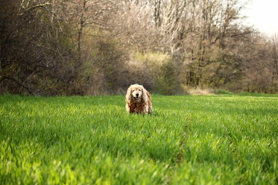 Curly Haired dog in tall grass with trees next to them