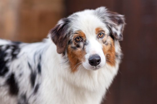 The Australian Shepherd What You Will Need To Know As An Owner Sitstay