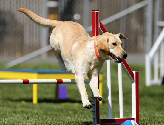 Dog agility course Hurdle