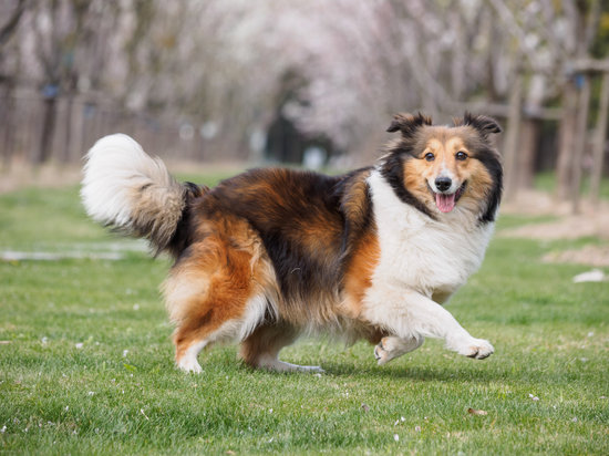 Shetland sheepdog running in a park looking happy
