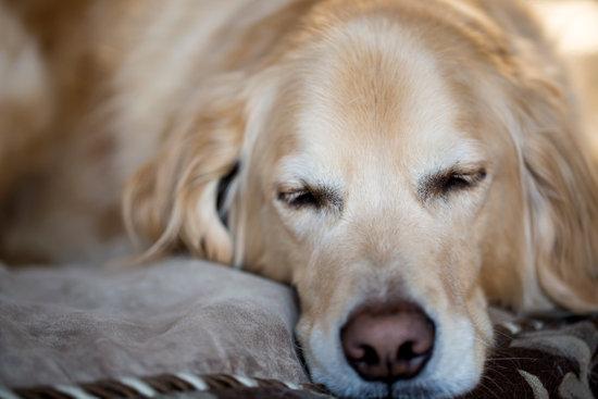 Golden retriever sleep on their comfy pillow dog bed
