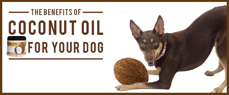 How To Put Coconut Oil In My Dog S Ear