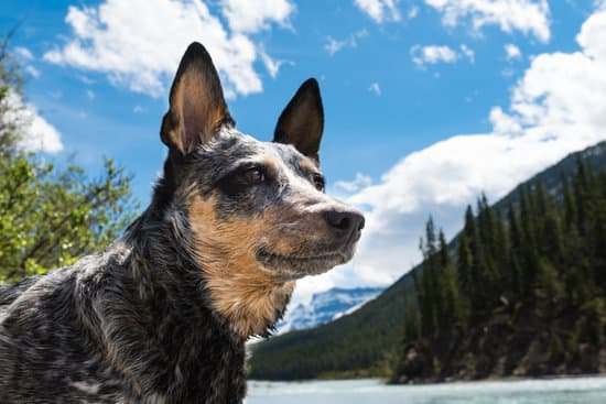 Australian cattle dog in the mountains