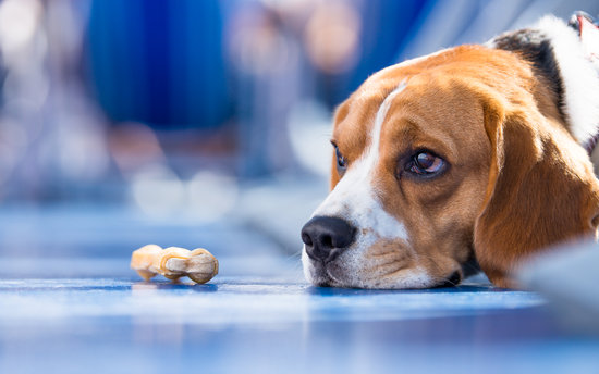 Sad Beagle on a blue floor with a treat sitting in front of them
