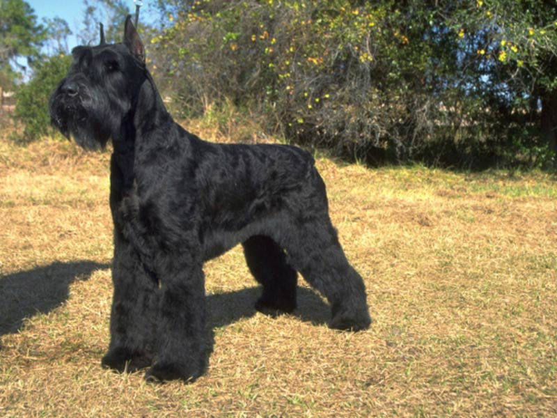 giant schnauzer in a patch of dead grass