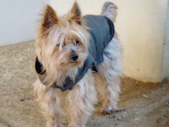 Yorkshire Terrier in a Grey Vest standing on dirt