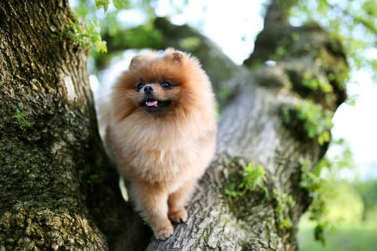 Pomeranian standing in a tree with mossy bark