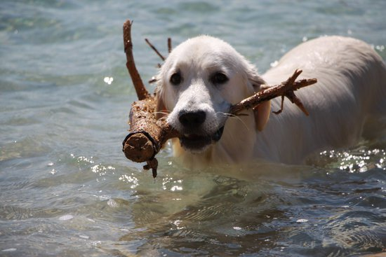 Golden Retriever In A Lake With A Log In Its Mouth