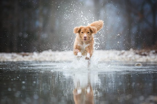 Golden dog running through the water towards their owner