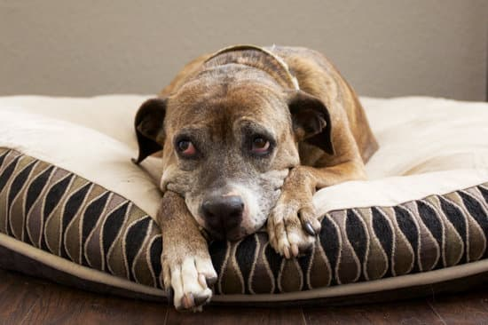 Old dog laying on a dog bed looking tired