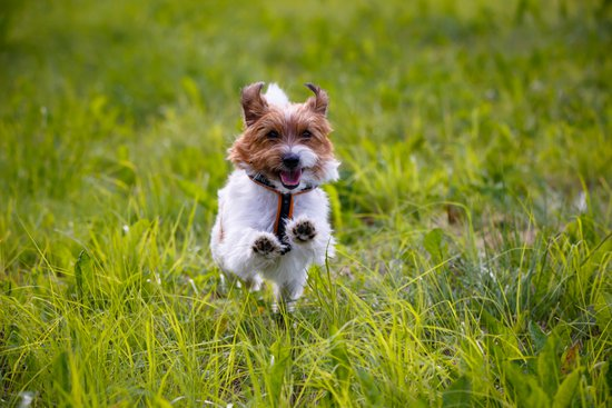 Terrier running through tall grass excitedly