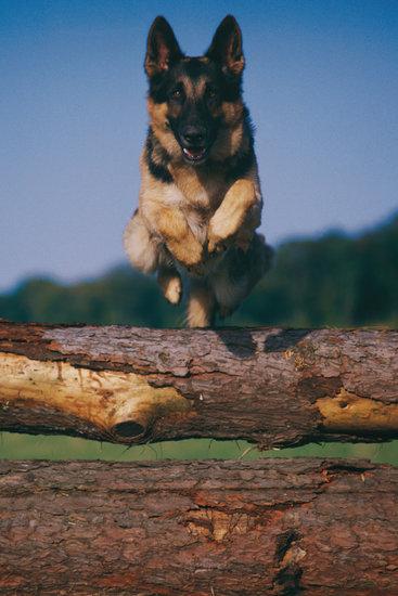 Schutzhund for beginners