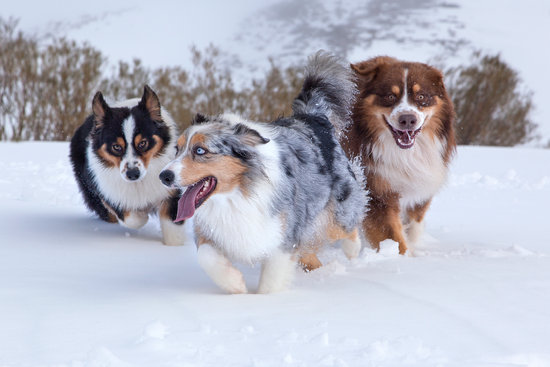 3 different colored Australian shepherds playing in the snow
