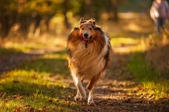Shetland Sheepdog running on a trail during the sunset