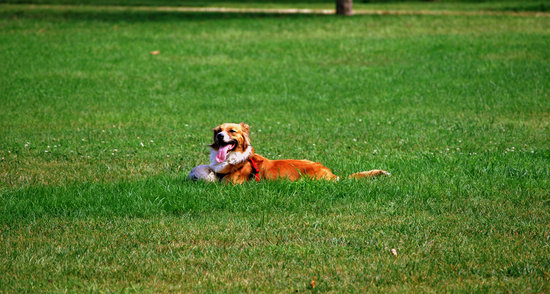 Australian shepherd laying in grass with a ball and a red collar