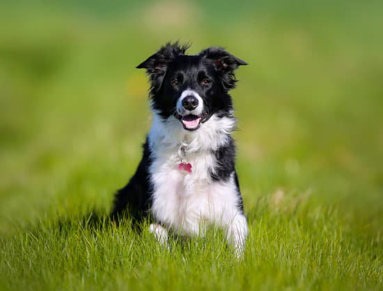 Healthy looking border collie in tall grass