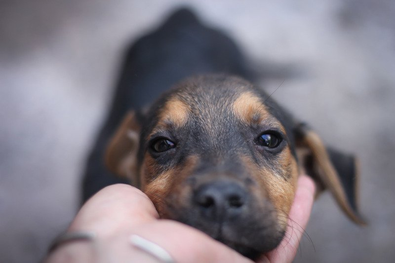 Dachshund Laying its head in its owners palm