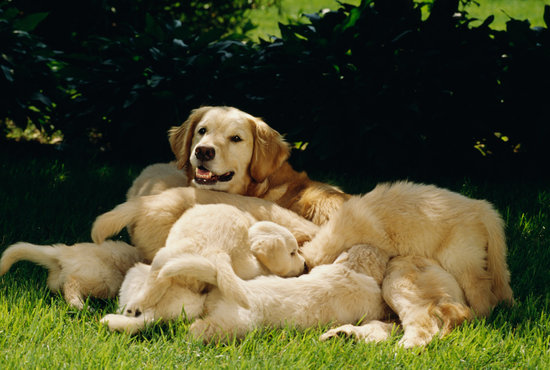 Golden retriever mom surrounded by her puppies in the yard