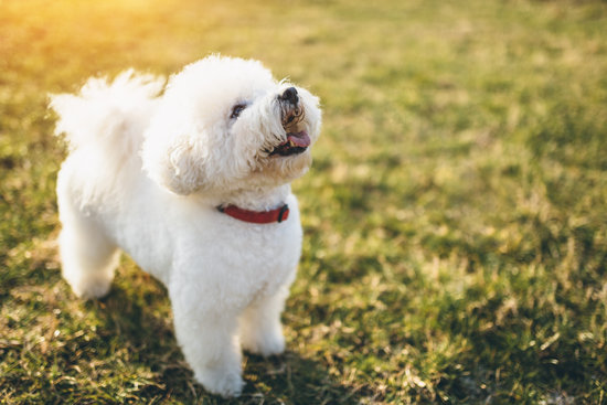 White Bichon in a park during a sunset