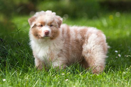 Australian Shepherd puppy in tall grass
