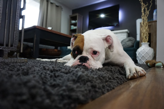 Bulldog Laying on a dark shag carpet with their lips flapping on the ground